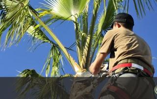 Palm Tree Removal - Tree Removal Arborist El Dorado Hills