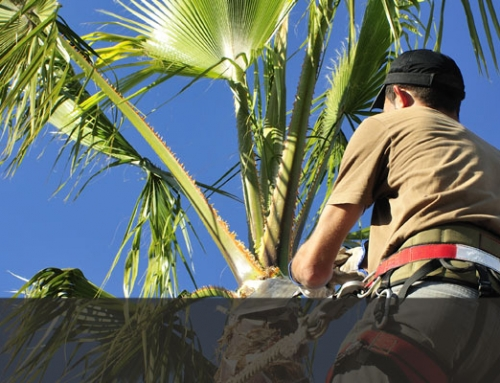 Palm Tree Trimming & Removal